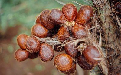 Banjarnegara Snake Fruit ? buah istimewa yang mendunia